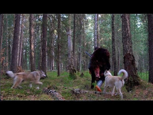 Сезон медведя 13 Добыча наша