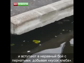 В Бресте крысы отбирают в реке хлеб у лебедей