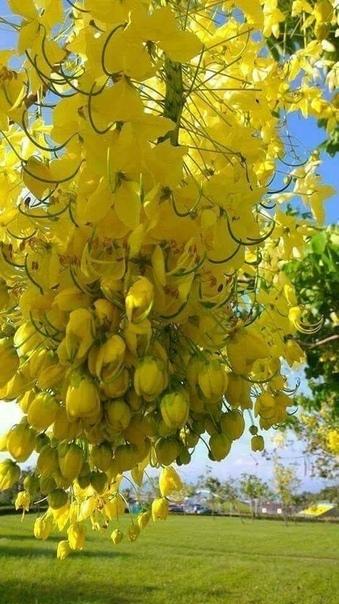 Тюльпанное дерево.