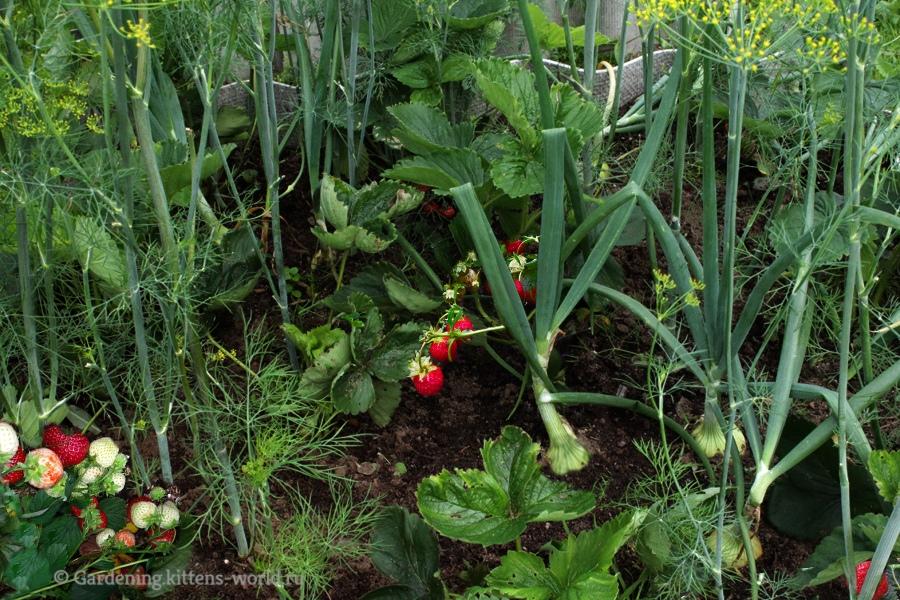 Что можно посадить в грядку с клубникой-клубника и лук