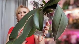 БЫСТРО ВОССТАНОВИТЬ тургор листьев орхидее. Через 3 дня будет КАК НОВАЯ!