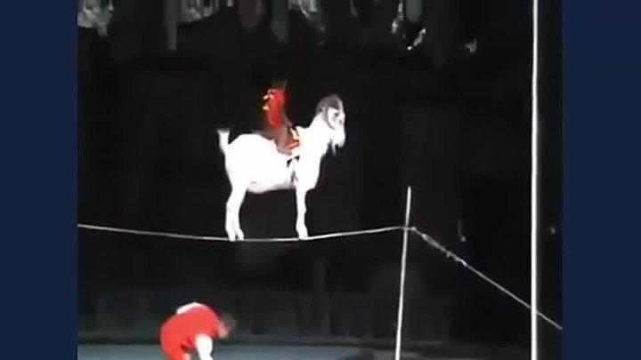 коза в цырке