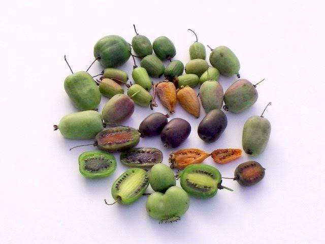 Сбор плодов актинидии аргута.
