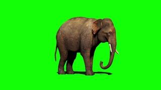 Elephant green screen