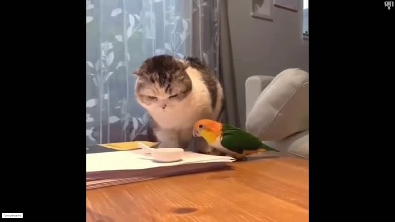 Поединок попугая с котом за еду