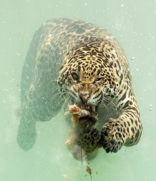 Очень харизматичнaя подводнaя охота ягуарa.
