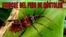 La Chinche del pino Especies invasoras Chinche parecido al del Chagas Chinche de las piñas