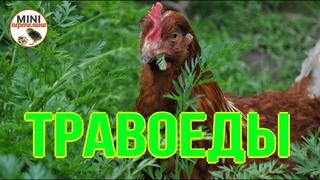 Как накормить  кур зеленой травой.