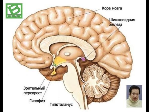ЛилияКулешова Влияние ELEV8 на Гипоталамус