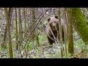 Атака медведя. Застрелить или оставить в живых / Bear Attack/ Урал