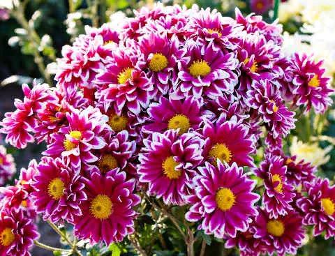 Хризантема Хризантема по праву считается королевой осеннего сада, украшая его своим великолепным цветением до поздней осени. Благодаря многообразию сортовых форм, широкому диапазону красок и