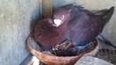 голубка усыновила брошенного котенка