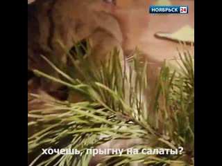 Чуть больше недели до нового года, а кошка уже «напоролась» праздничного «салата»