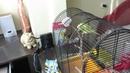 Приручение попугая День1 ч1 Попугай нахохленный не ест не пьёт