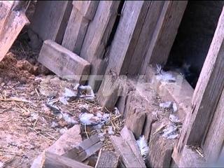 Чупакабра атаковала семеновские села. Задушены десятки кур.