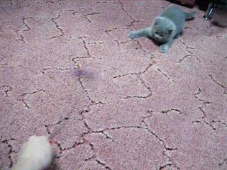 Продаем котят породы БРИТАНСКАЯ КОРОТКОШЕРСТНАЯ.  Родились . 2 девочки.