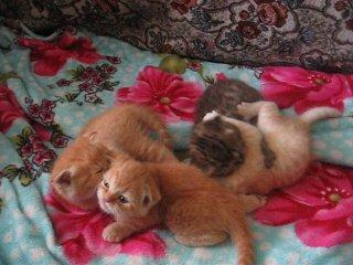 наши шотландские котятки 1 месяц