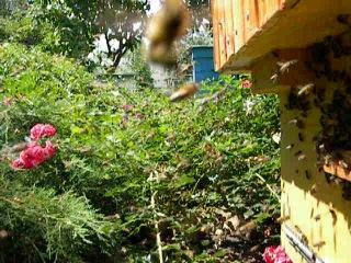 Пчелы облет молодой пчелы