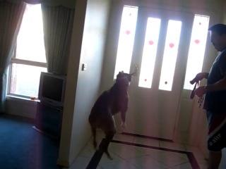 Боксеру сказали, что он пойдет на прогулку