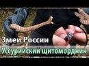 Уссурийский щитомордник. Ядовитые змеи России