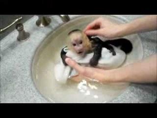 Обезьянка,прелесть!!...Capuchin Monkey Frankie Takes a Bath