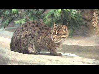 Denver Zoo Fishing Cat Moves Into New Home at Toyota Elephant Passage