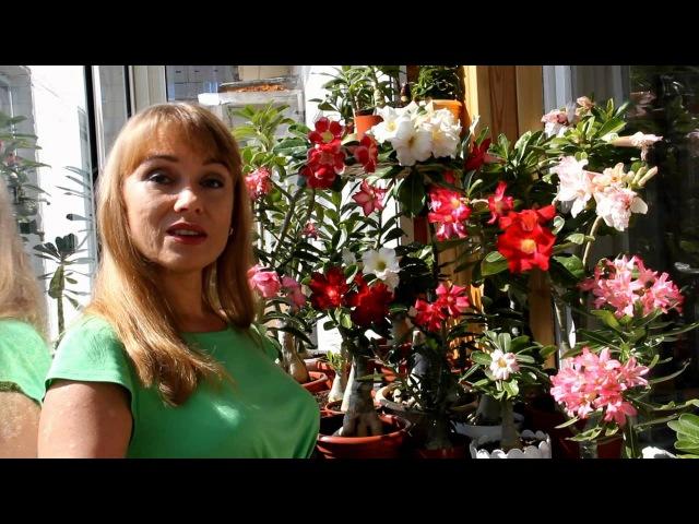Адениум - красивые цветы, потрясающие формы! Домашние растения для южных окон.Цветы дома.