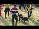 Собачьи бои Турнир в Китае 2015 питбуль терьеры