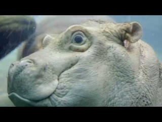 Baby Hippo Peek-a-Boo!