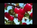 Аркадий Северный Ko поспели вишни в саду у дяди Вани