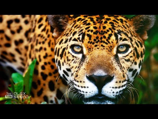 ГЛАЗА ЯГУАРА. Легенда Народов Амазонии
