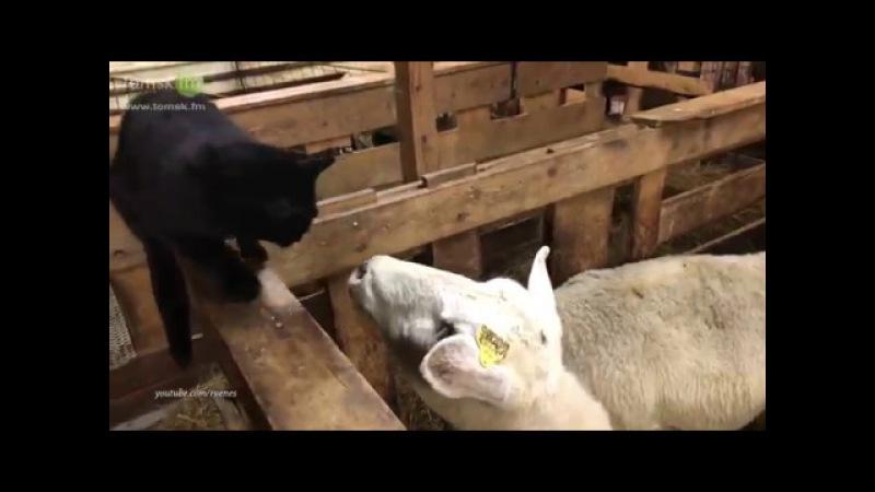 Овца мстит коту