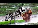 Бои диких животных 2016 - крокодил против зебры, буйвол убивает льва - нападение диких животных