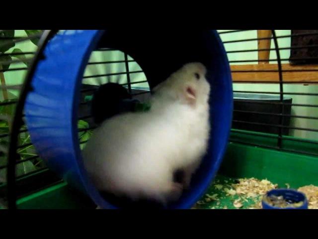 хомяк бегает в колесе hamster runs around in wheel