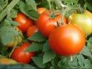 Низкорослые Детерминантные томаты / Пасынкование / Формирование куста / Делюсь секретами.