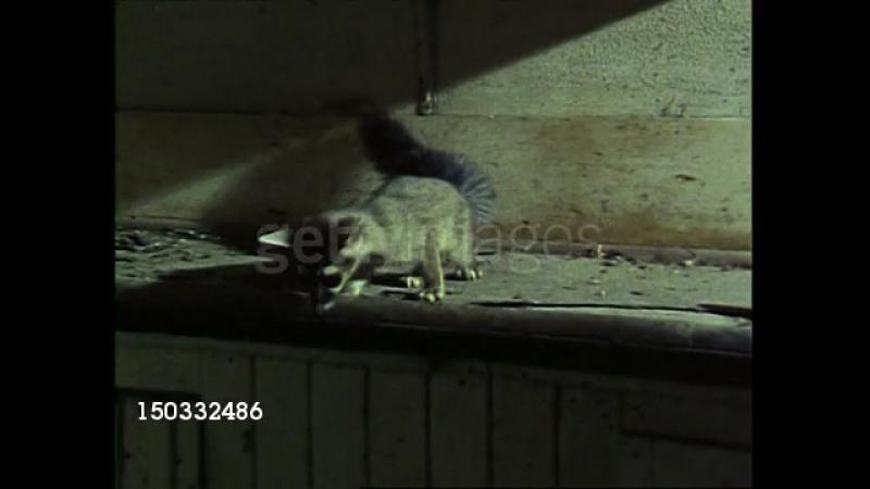 Какомицли неудавшаяся охота Bassariscus Ring tailed cat