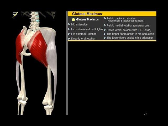 Большая ягодичная мышца Анатомия Упражнения Растягивание