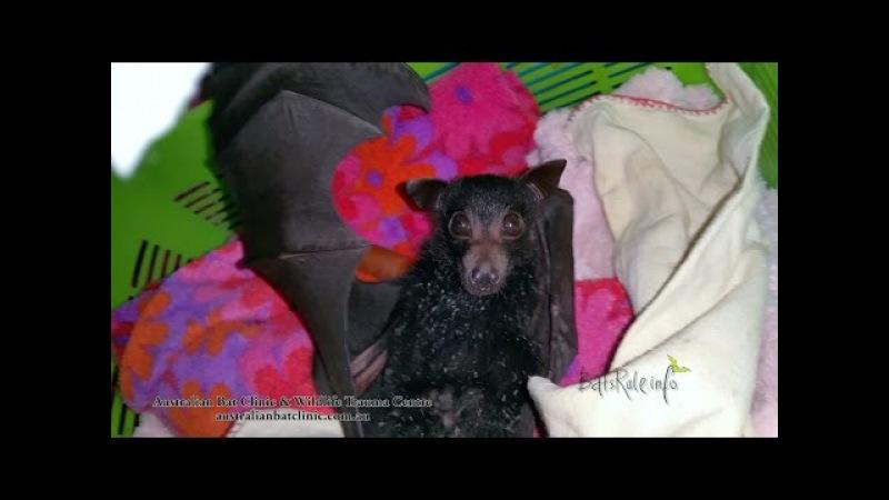 Rehab baby Megabat black male orphan in care Flying fox Fruit Bat