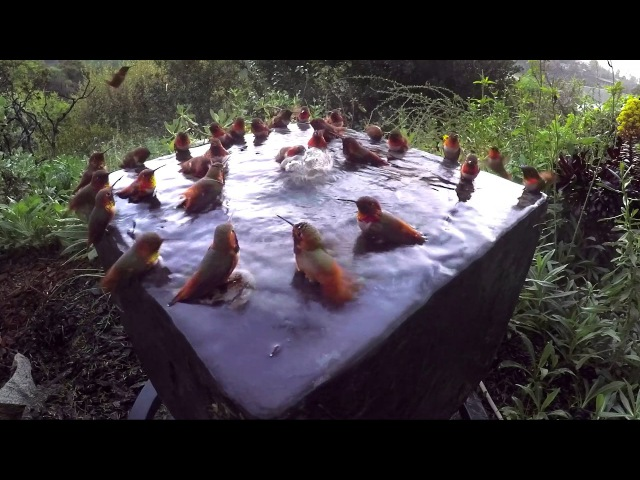 Hummingbird Pool Party Number Five