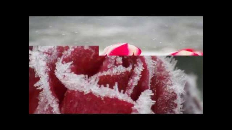 Танго. Тюльпаны в снегу.