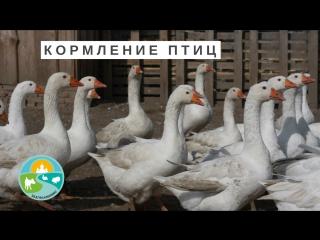 Натуральные фермерские продукты. Кормление птиц.