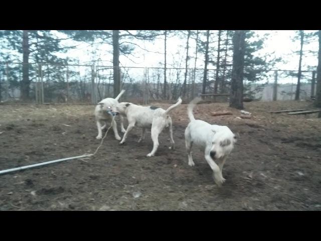 7 апреля 2017 г. Пит-бульдоги от Хана и Беллы (11 месяцев), и сама Белла с ними
