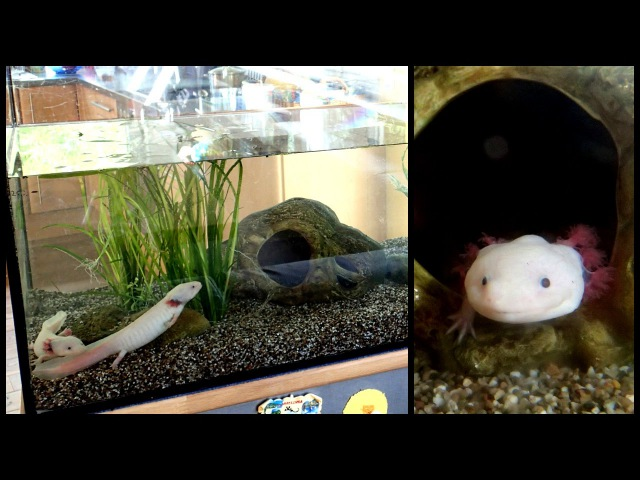 Aquarium Setup Axolotl Tank Ambystoma mexicanum How to set up an Axolotl Tank