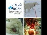 Пролапс стенок влагалища у собаки