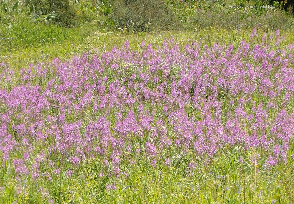 Летние цветы в горах Алматы, Кок-Жайляу