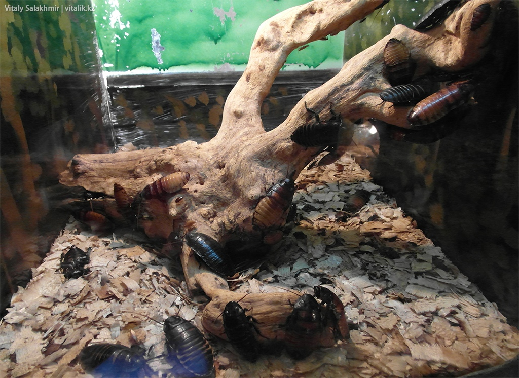 Мадагаскарские тараканы, зоопарк Алматы 2018