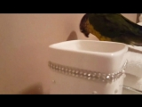 My bird Mazey playing with Q-tips
