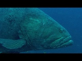Deadly Predators of the Reef the Queensland Grouper and the Sea Snake BBC Earth