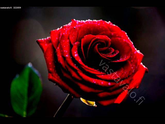 Merja Rantamäki Ruusu