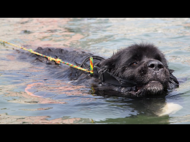 Super Swimmer Dogs Save Lives SUPERPOWER DOGS